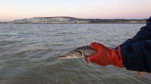 Sturtop Capture d'un esturgeon européen dans l'estuaire de Gironde lors d'une campagne Sturat en mars 2014
